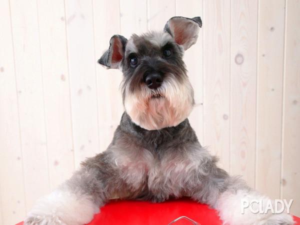 银狐犬夏季怎么剪毛?