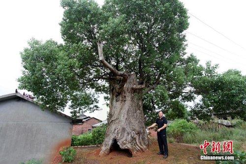 """江西百年古樟肚里长出新树 成""""树中树""""景观"""