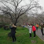 青山区:实地辨樱花花瓣豁口是关键